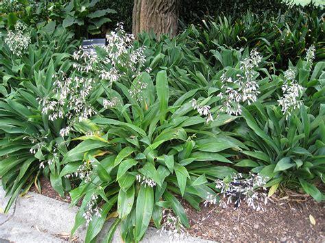 garten neu bepflanzen arthropodium cirratum