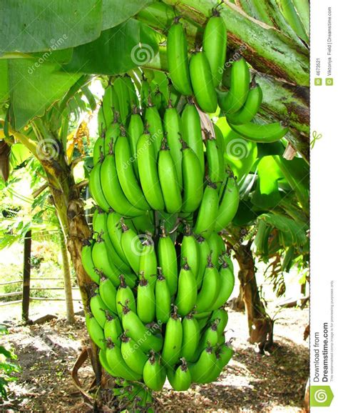 bananas on tree banana pomar de delicias orchard of delights pinterest