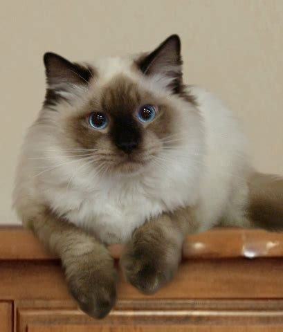 rag doll show 25 viral ragdoll cat photos that you will fallinpets