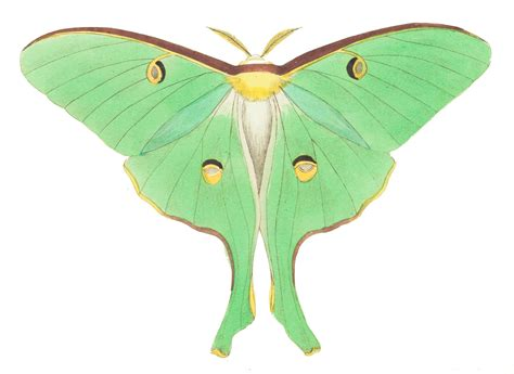clipart domain moth drawing