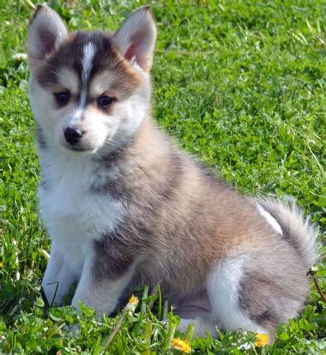 how much are pomsky puppies how much are pomsky puppies pomsky