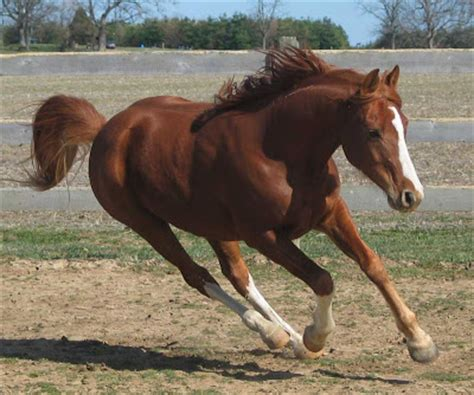 jenis kuda perang yang handal kuda arab gemar ternak