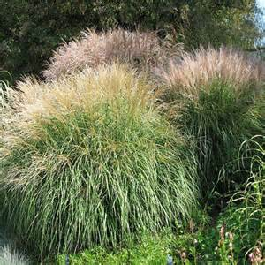Miscanthus sinensis seeds chinese silver ornamental grass seed