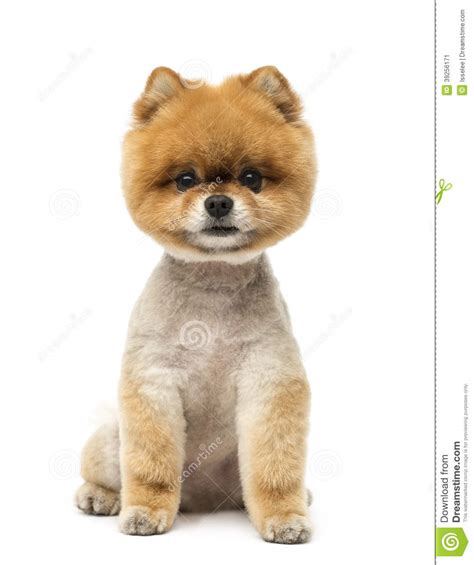pomeranian sitting pomeranian sitting and looking at the stock photo image 39256171