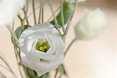 lisianthus fiore conoce el significado de la flor lisianthus o eustoma