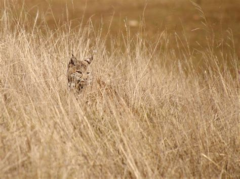 Bobcat Hiding in the Tall Dry Grass in Joseph D Grant Coun ...