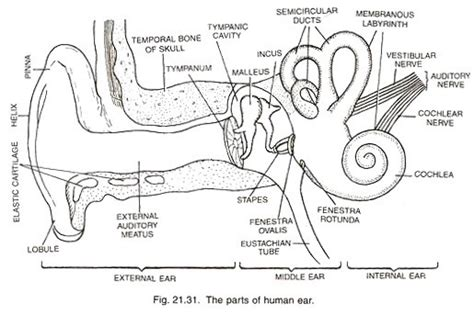 the ear diagram and functions draw a neat diagram of human ear and label external ear