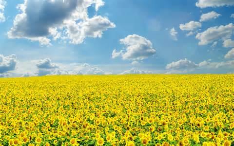 sunflower field wallpaper 265822 sunflower field wallpaper 261577
