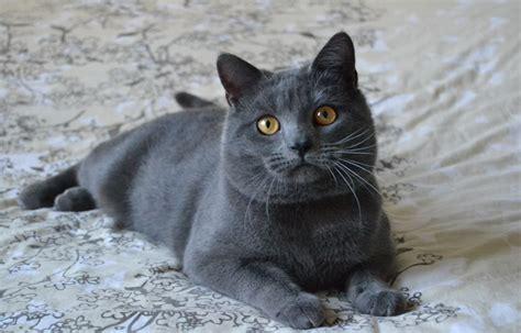 gatto siamese alimentazione alimentazione certosino petformance magazine