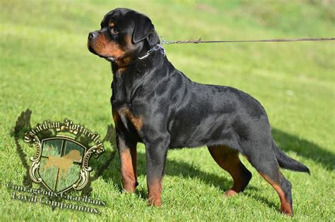 rottweiler tails rottweiler without docked www pixshark images galleries with a bite