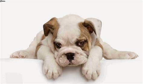 bulldog inglese appartamento mira razas de perros para departamentos ideales para vivir