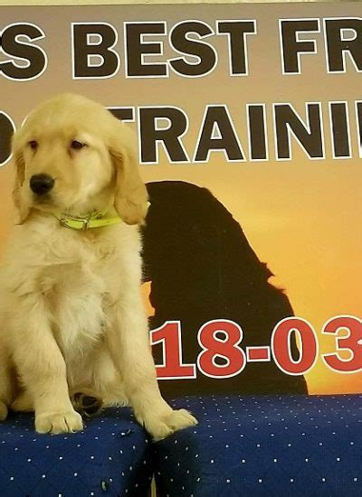 trained golden retriever for sale trained dogs for sale family obedience protection dogs