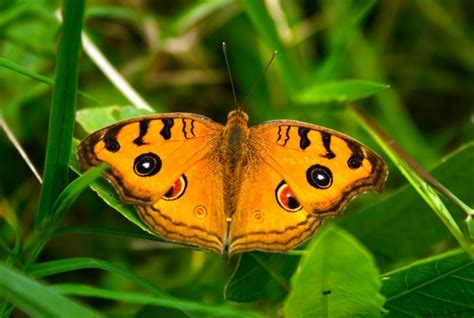 Myths Symbolism And Meaning Of Orange Butterflies Butterfly Meanings