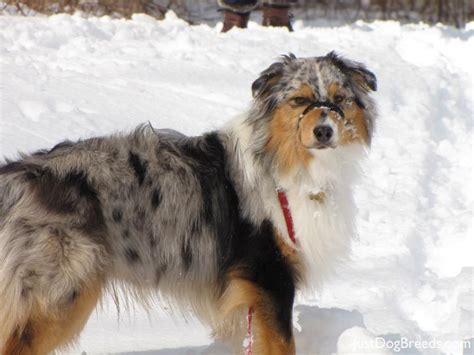 australian breeds australian shepherd the dogs breeds models picture