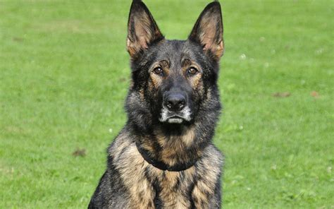 types of german shepherds types of german shepherd blood lines dogslife breeds magazine