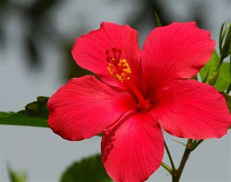 informasi lengkap mengenai bunga sepatu selingkaran