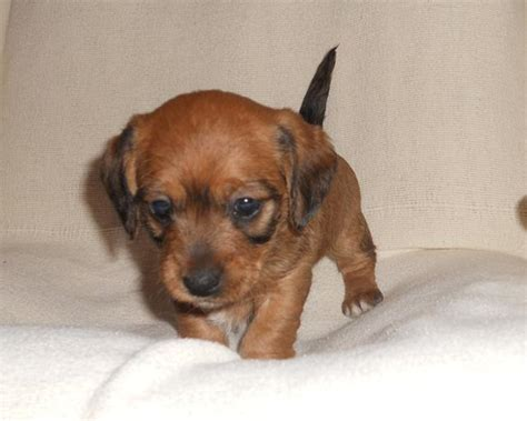 doxiepoo puppies doxiepoo dachshund poodle mix facts temperament puppies pictures