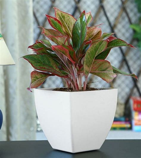 popular houseplants beautiful easy care plants fresh 111 best chinese evergreen plants aglaonema images on
