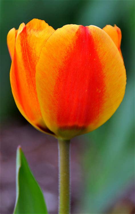 tulip colors tulip colors flickr photo