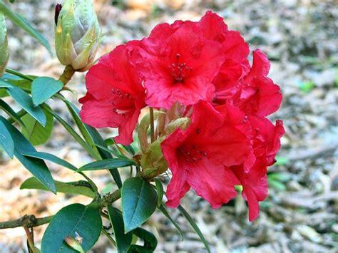 azalea da interno azalea rhododendron rhododendron piante da giardino