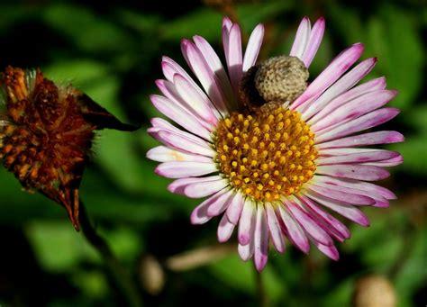 margherita fiore descrizione immagini natura fiore petalo margherita