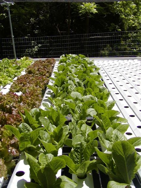 backyard hydroponics backyard hydroponic romaine and red leaf lettuces growing