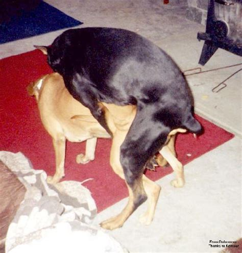 dogs mating pictures of dogs mating up breeds picture