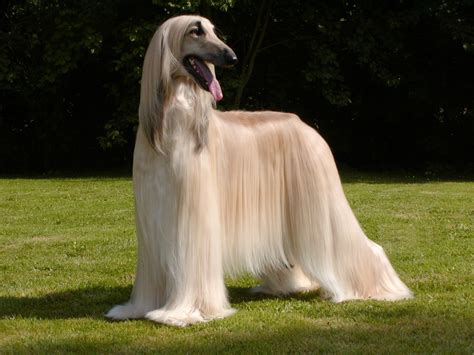 afghan hound puppy afghan hound pictures puppies facts behavior cycles animals adda