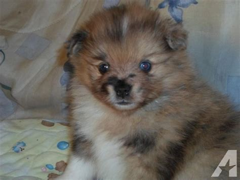 blue eyed pomeranian puppies for sale 1000 ideas about blue merle pomeranian on blue pomeranian pomeranian