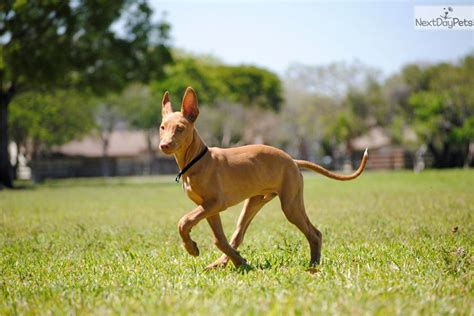 pharaoh hound puppies for sale pharaoh hound for sale for 1 600 near south florida florida 607aeed2 1cb1