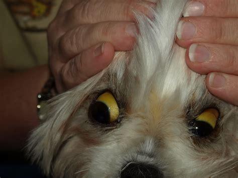jaundice in dogs jaundice