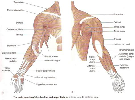 human muscles diagram arm anatomy muscles human anatomy diagram