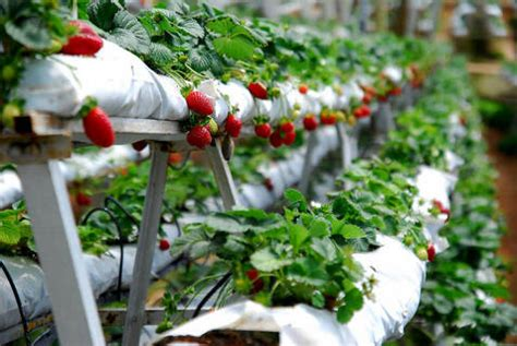 Tempat Jual Bibit Strawberry Di Bandung wisata kebun petik sendiri strawberry di bandung infobdg