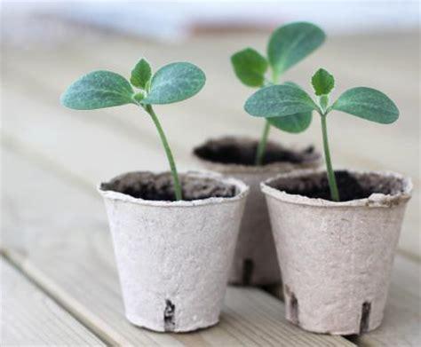 piante di zucchine in vaso come coltivare le zucchine in vaso utili informazioni