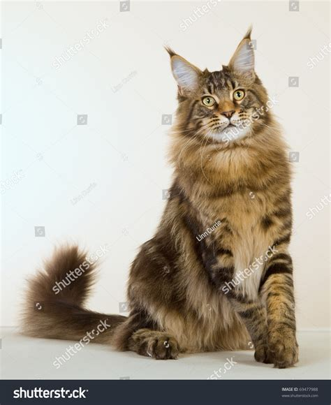 maine coon kittens bay area brown cat images