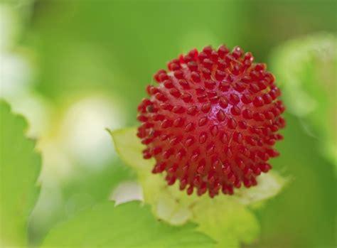 Garten Pflanzen Im August by Ziererdbeeren Im August Pflanzen Garten News Garten