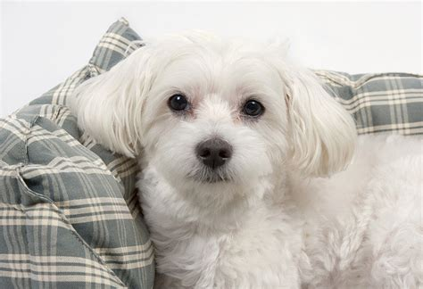 Do Maltese Dogs Shed Hair by Small Breeds The Cutest Small Dogs