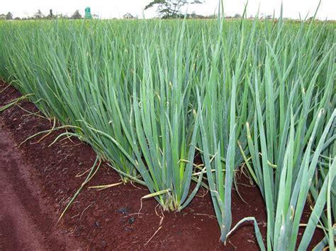 onion medicinal herb info medicinal benefits of onion