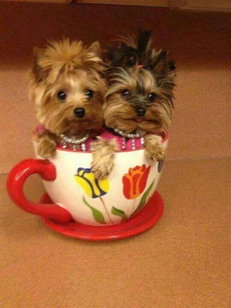 tiny yorkie haircuts best 25 teacup animals ideas on pinterest cute baby