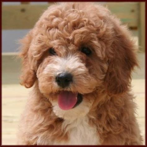 poochon puppies poochon bichpoo breeds picture