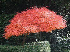 dwarf japanese maples nurseries