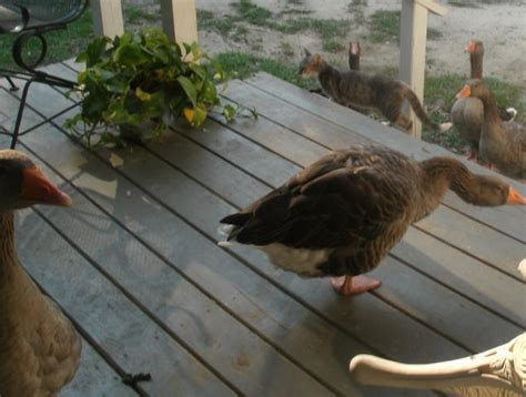 Porch Goose war coverage published by dylanbas on day 2 265 page 1
