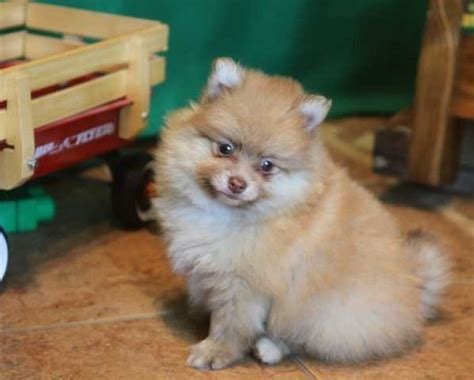 pomeranian for sale calgary pomeranian and maltese puppies available for sale 6788137704 for sale adoption from