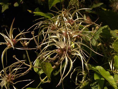 fiori attinomorfi fiori attinomorfi 28 images iridaceae anemone