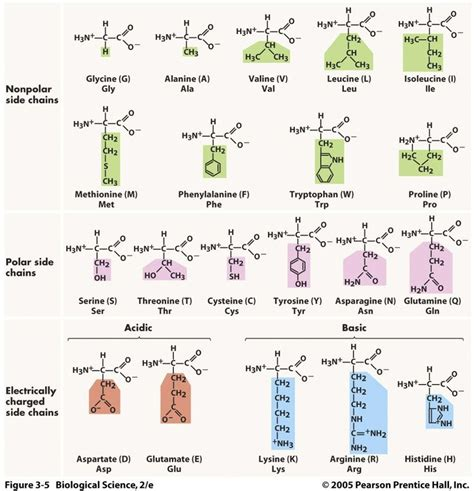 29 best amino acids images on pinterest amino acids