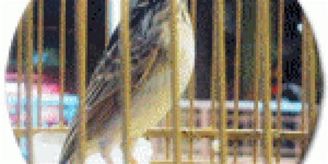 Pakan Branjangan Agar Cepat Bunyi beberapa faktor penentu branjangan mau bunyi klub burung