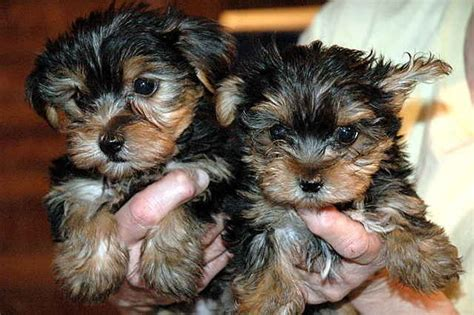 yorkies for sale in new mexico two tiny yorkie puppies for sale adoption from rancho nm new mexico adpost