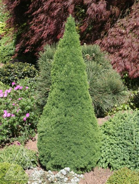 dwarf shrubs evergreen 78 best images about evergreens for containers as a topiary on trees and