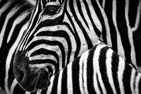imagenes de cebras en blanco y negro el enigma detr 225 s de las rayas de la cebra mito revista