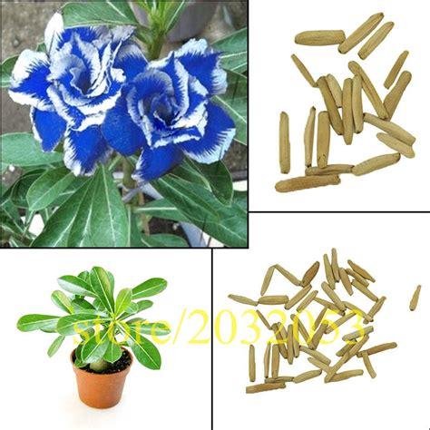 desert tanaman beli murah desert tanaman lots from china